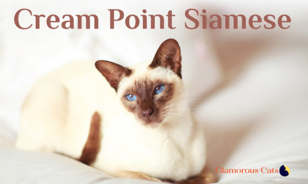 Cream Point Siamese Cat 101