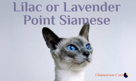 Lavender Point Siamese Cat 101
