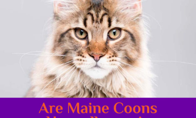 Are Maine Coon Cats Hypoallergenic? Cat Allergies
