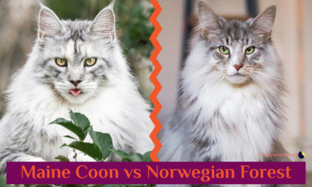 Maine Coon vs Norwegian Forest Cat 101 – Are They Twins?