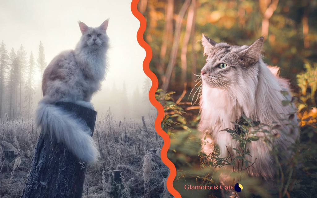 Maine Coon vs Norwegian Forest Cat 101 - Are They Twins? 16