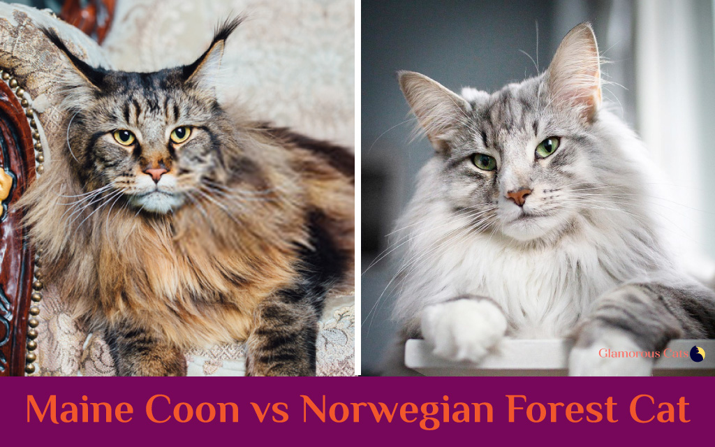 maine coon vs norwegian forest cat shape