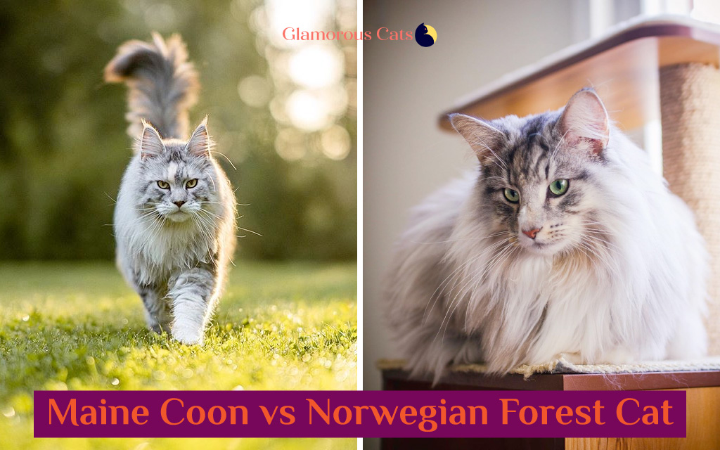 Maine Coon vs Norwegian Forest Cat 101 - Are They Twins? 15