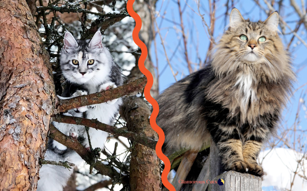 Maine Coon vs Norwegian Forest Cat 101 - Are They Twins? 11
