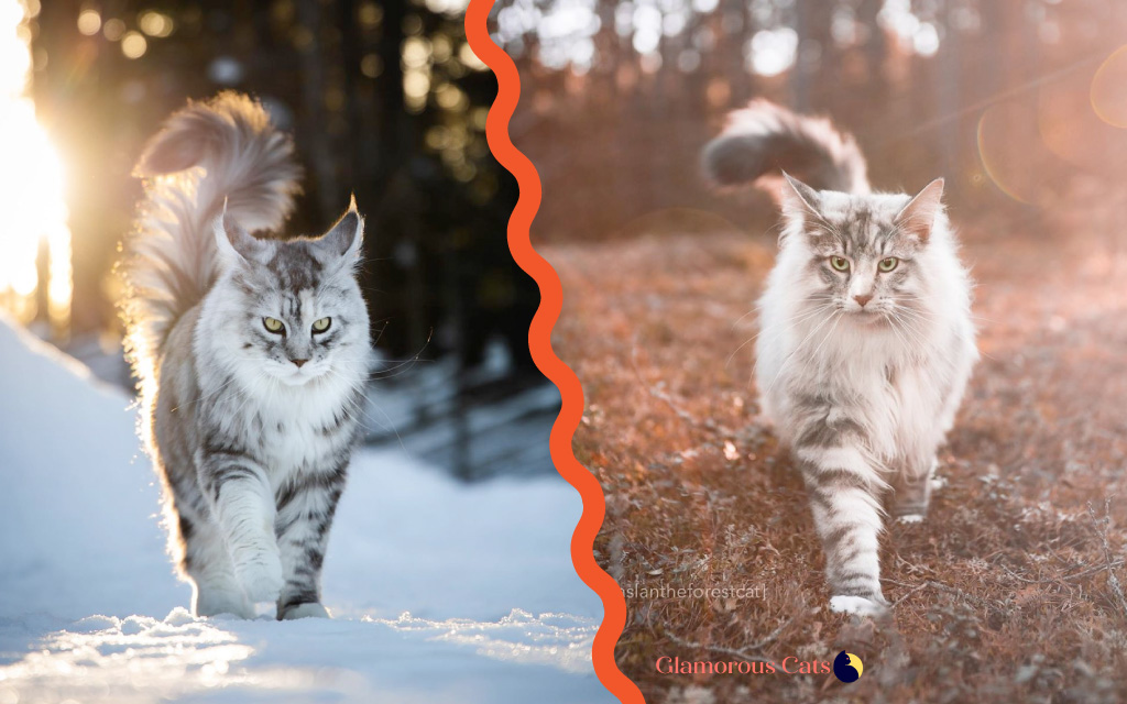 Maine Coon vs Norwegian Forest Cat 101 - Are They Twins? 3