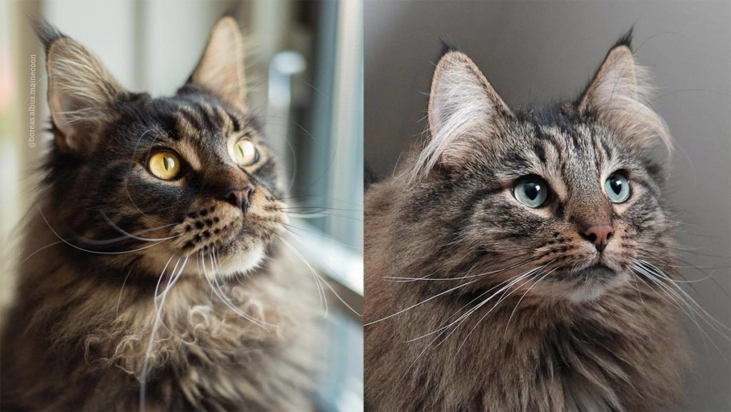 Maine Coon vs Norwegian Forest Cat 101 - Are They Twins? 6