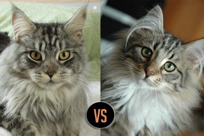 Maine Coon vs Norwegian Forest Cat 101 - Are They Twins? 7