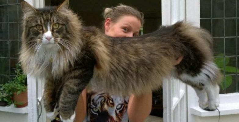 Maine Coon vs Norwegian Forest Cat 101 - Are They Twins? 13