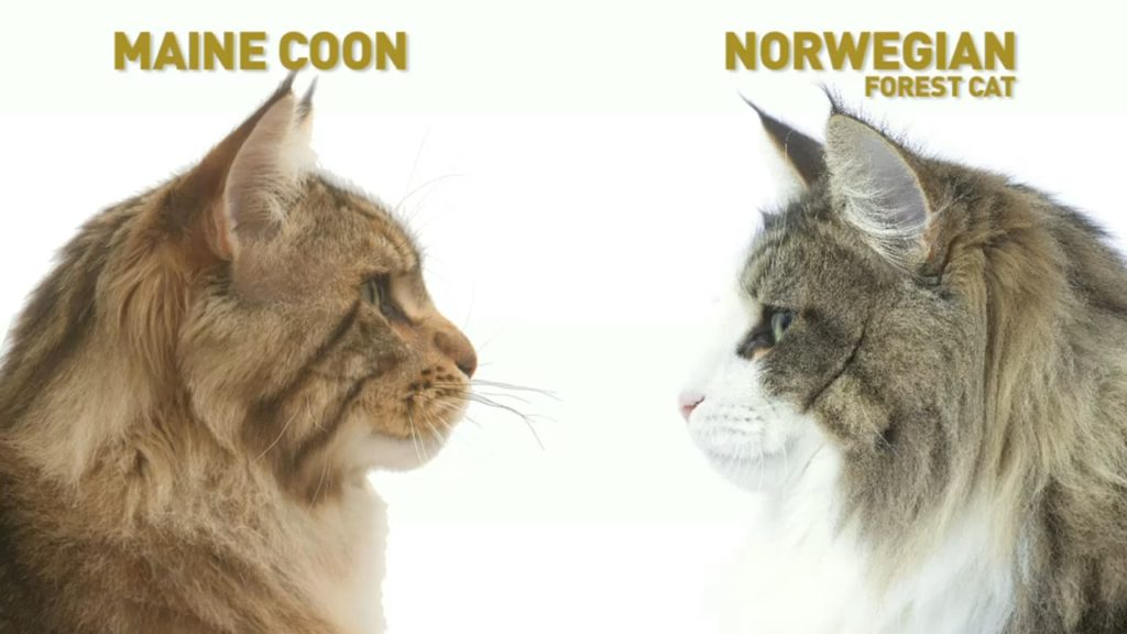 Maine Coon vs Norwegian Forest Cat 101 - Are They Twins? 10