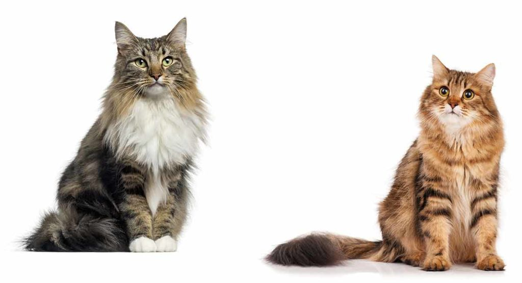 Maine Coon vs Norwegian Forest Cat 101 - Are They Twins? 9