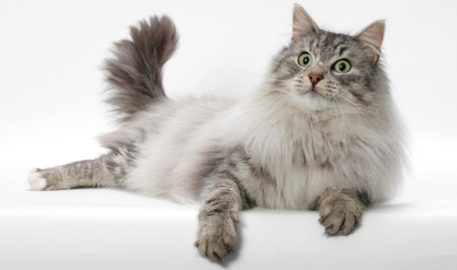 Maine Coon vs Norwegian Forest Cat 101 - Are They Twins? 2
