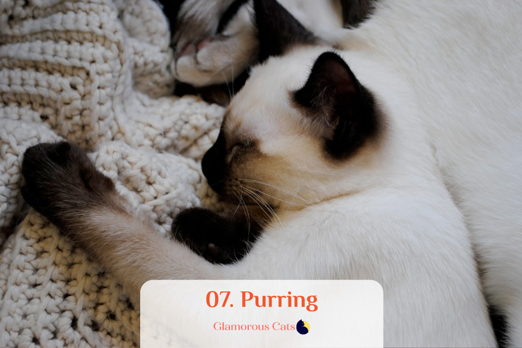 What Makes Siamese Cats So Affectionate? Can they be mean? 8