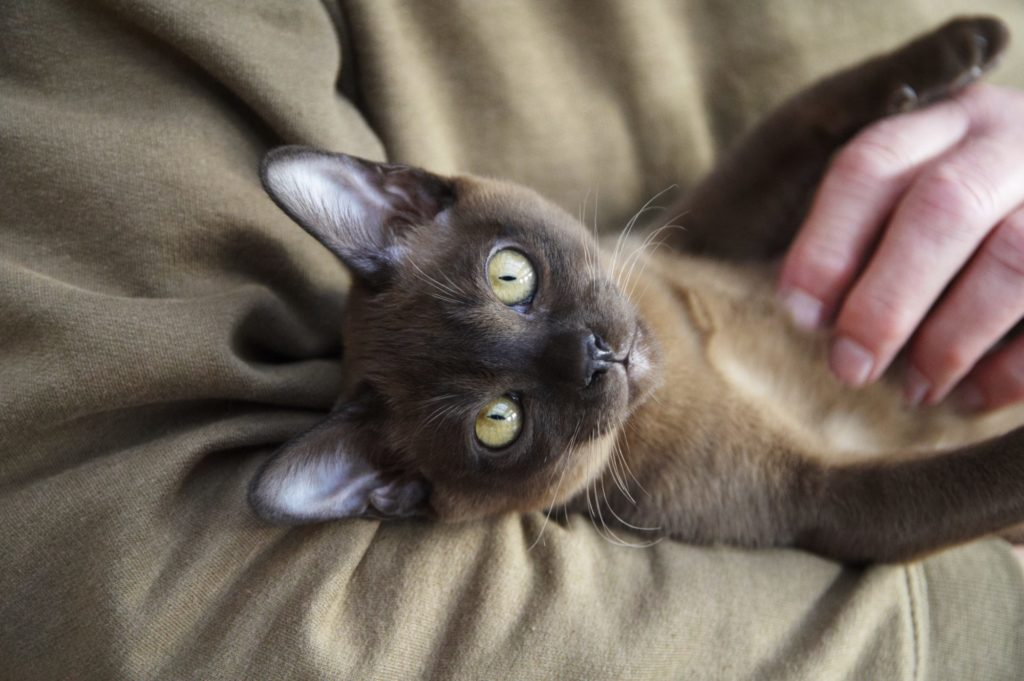 Why are Siamese cats so affectionate