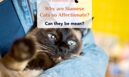 What Makes Siamese Cats So Affectionate? Can they be mean?