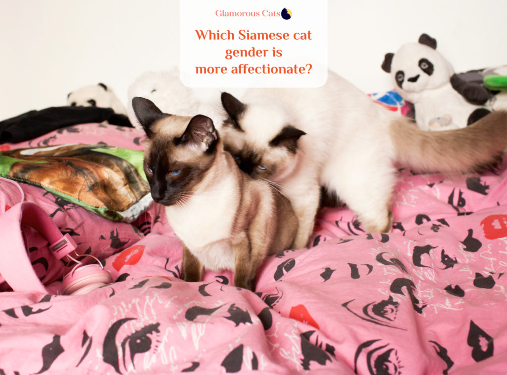 What Makes Siamese Cats So Affectionate? Can they be mean? 11