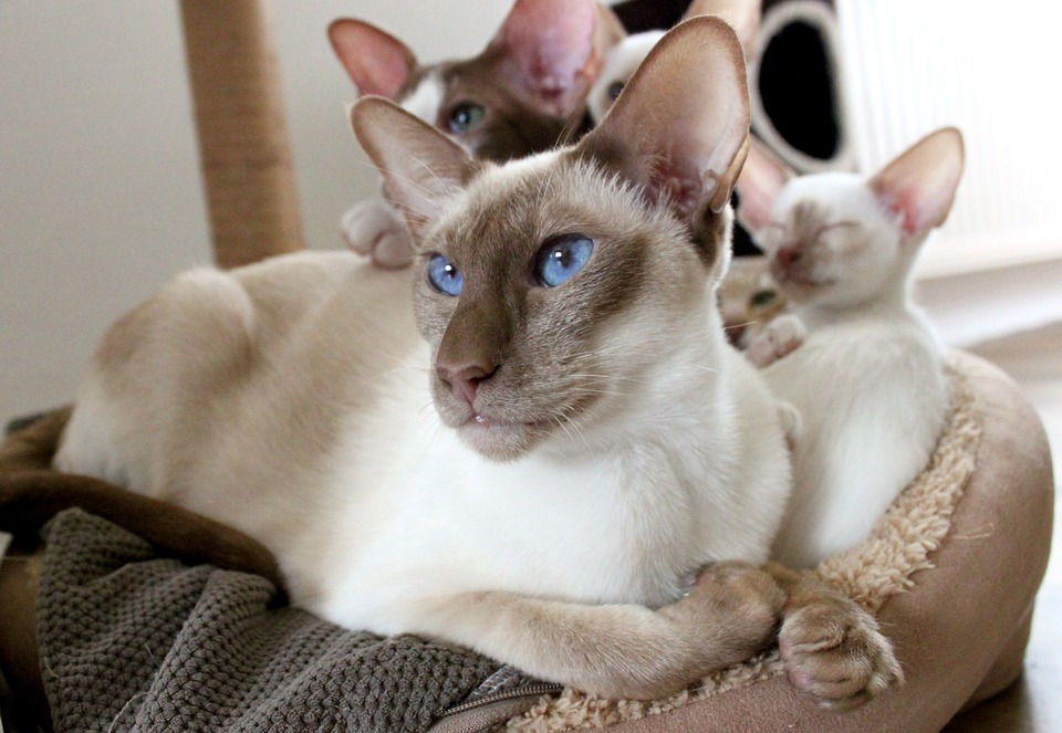 What Makes Siamese Cats So Affectionate? Can they be mean? 1
