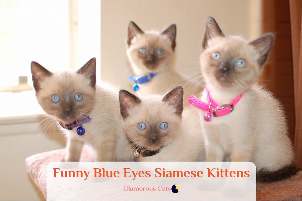 What Makes Siamese Cats So Affectionate? Can they be mean? 13
