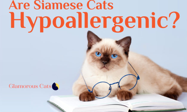 Are Siamese Cats Hypoallergenic? Cat Allergies