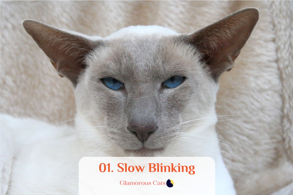 What Makes Siamese Cats So Affectionate? Can they be mean? 2