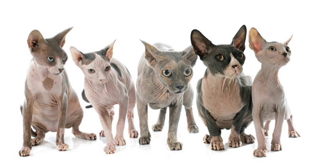 The Ultimate Guide on Sphynx Cat Facts and Origin 101 8