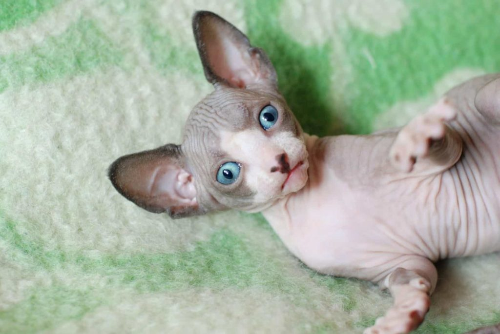 The Ultimate Guide on Sphynx Cat Facts and Origin 101 1