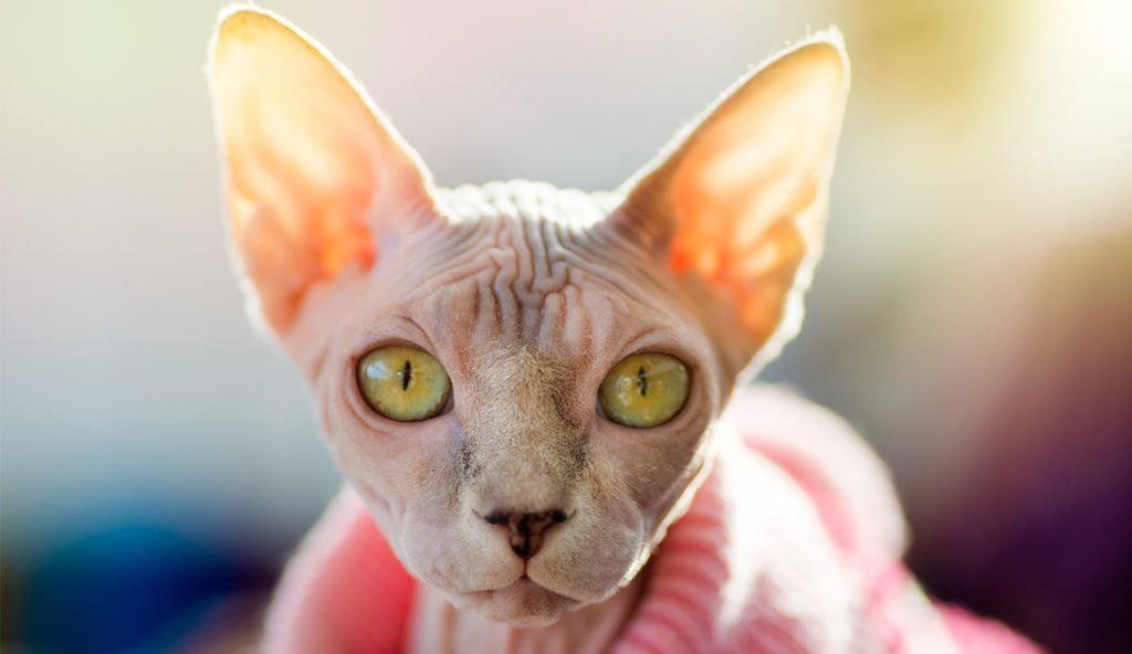 The Ultimate Guide on Sphynx Cat Facts and Origin 101 3
