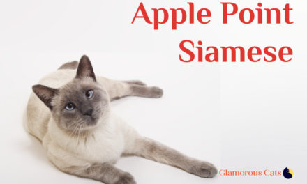 Apple Point Siamese Cat 101