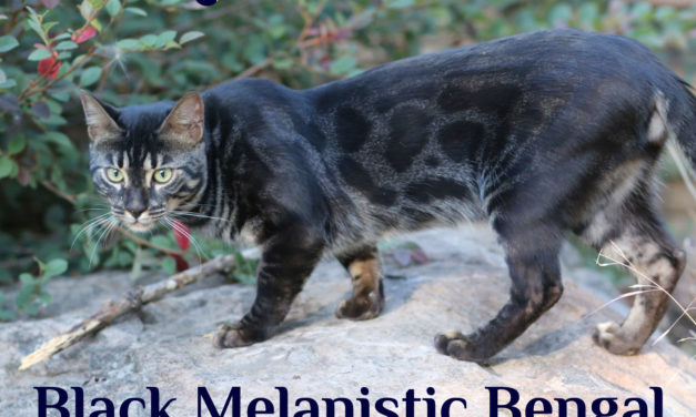 Black Melanistic Bengal Cat