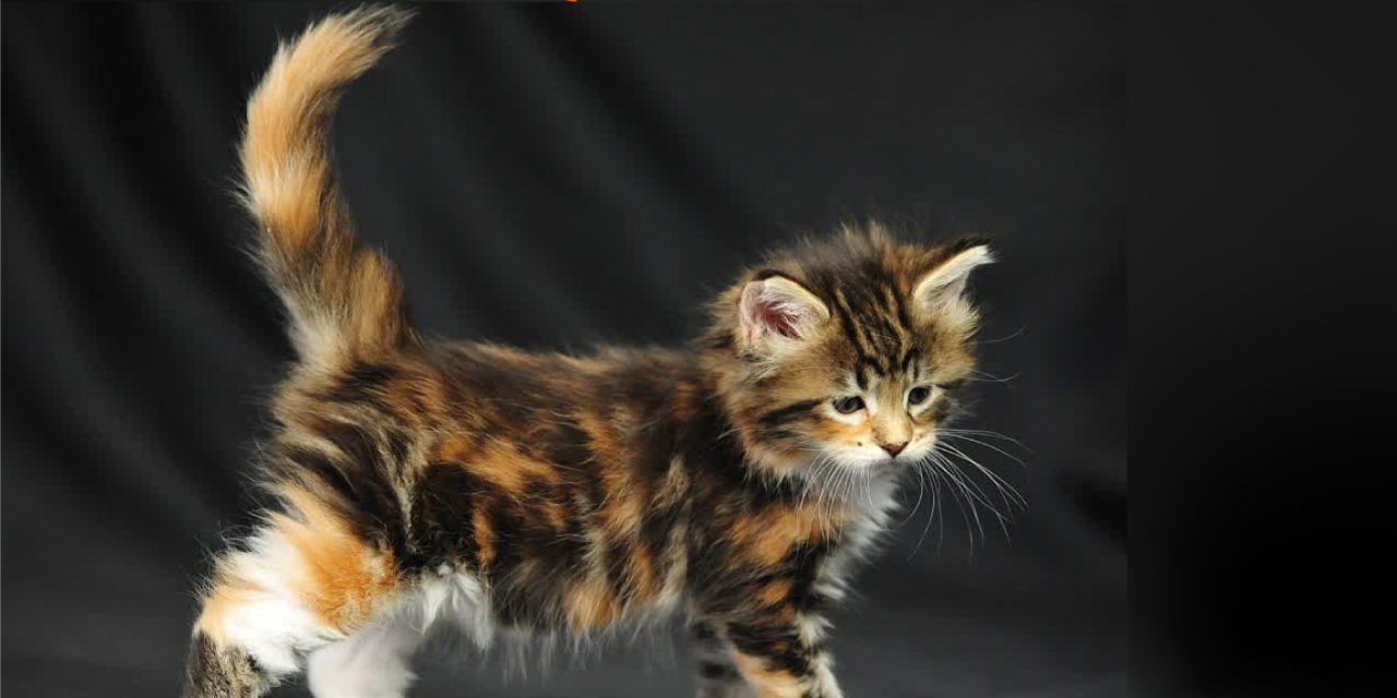 All You Need To Know About Calico Maine Coon Cat Glamorous Cats