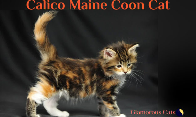 All You Need to Know About Calico Maine Coon Cat
