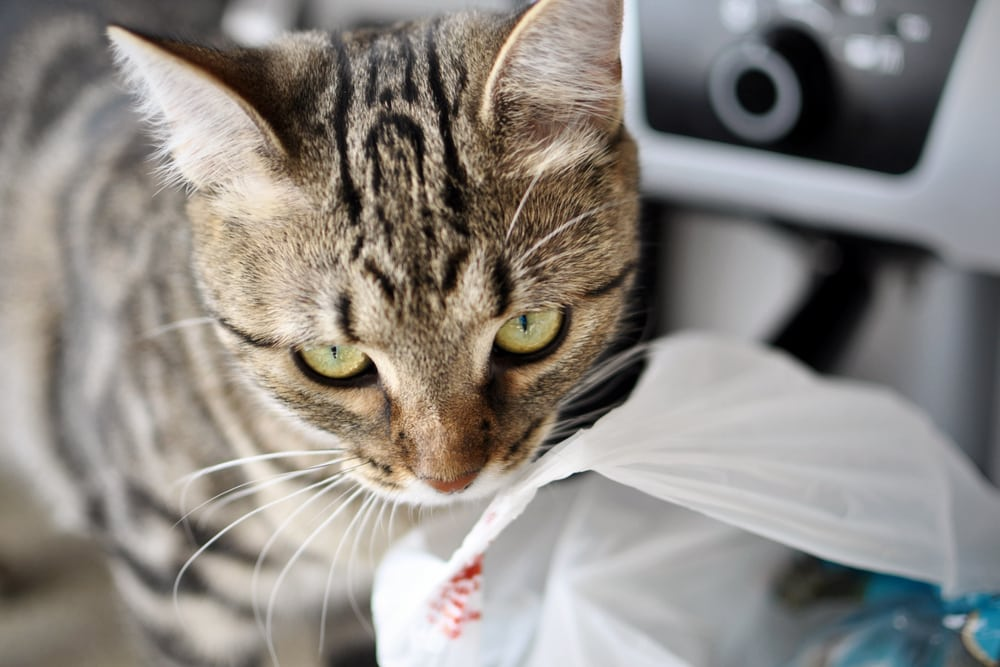 Why Do Cats Lick Plastic